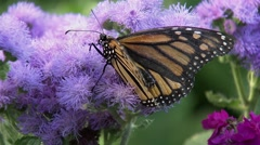 A monarch butterfly perched upon a Canadian Thistle flower. - stock footage