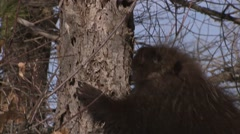 Porcupine climbing up a tree in winter woodland. (Tilt) - stock footage