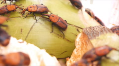 Red palm weevil ,a breeder Stock Footage