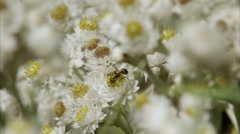 An ant on a Pearly Everlasting Flower. Stock Footage
