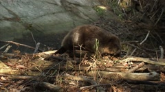 Beaver walking through a wooded shoreline in Ottawa, Ontario. - stock footage