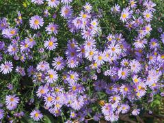 Violet autumn astra - stock photo