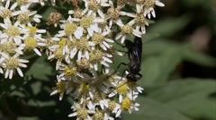 Black hornet perched upon a White Aster flower. Stock Footage