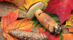Ant on the mushrooms on a stump in the autumn forest Stock Footage