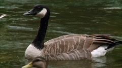 Canadian goose swimming through a duck filled pond. (Pan) Stock Footage
