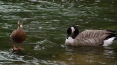 Canadian goose swimming through a duck filled pond. (Pan) - stock footage