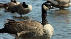 A goose with a flock in the Ottawa River. - stock footage