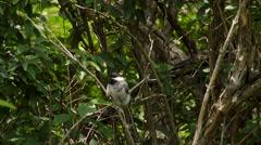 Carolina Chickadee Bird taking flight from a branch. Stock Footage