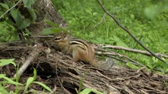 Chipmunk sitting on uproots of a tree. Stock Footage