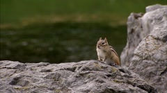Chipmunk sitting upon a rock in the spring. Stock Footage
