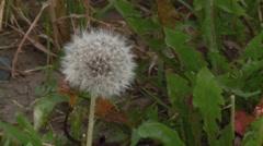 A dandelion in seed in an Ottawa garden. - stock footage