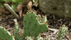 Eastern Prickly Pear cactus in an Ottawa garden. Stock Footage