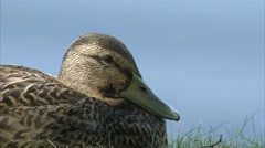 Female mallard duck sitting on the shoreline of the Ottawa River. - stock footage