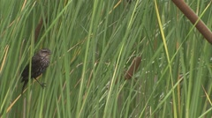 Finch perched upon long, marsh grass. Stock Footage