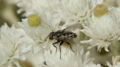 A fly perched upon a Pearly Everlasting Flower. Stock Footage