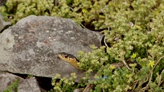A garter snake sitting inside a bush. Stock Footage