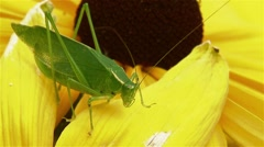 A large grasshopper perched on a Black Eyed Susan. Stock Footage