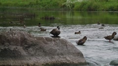Group of birds floating around a pond. (Pan) Stock Footage