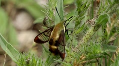 Hummingbird Clearwing Moth perched upon forest flora. - stock footage