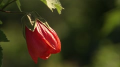 Large red flower in an Ottawa garden. Stock Footage
