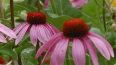 Group of pink coneflowers in an Ottawa garden. (Rack) Stock Footage