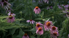 Bees perched upon Pink Coneflower. Stock Footage