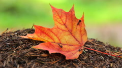 Yellow maple leaf on the anthill - stock footage