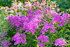 Beautiful flowerbed with phlox and echinacea Stock Photos