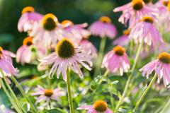 echinacea flowers against green background - stock photo