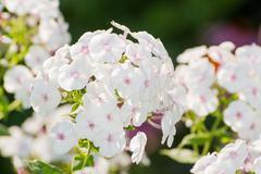 White Phlox flower - genus of flowering herbaceous plants Stock Photos