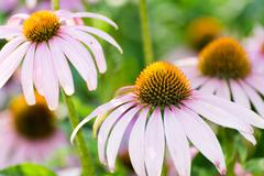 Echinacea flowers against green background Stock Photos