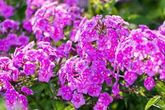 Pink Phlox flower - genus of flowering herbaceous plants Stock Photos