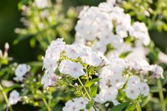 white Phlox flower - genus of flowering herbaceous plants - stock photo