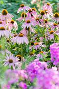Beautiful flowerbed with aphlox and echinacea Stock Photos