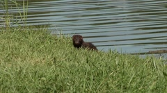 A river otter eating grass on the Ottawa River shoreline. Stock Footage