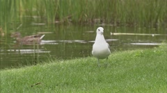 Ontario, Ottawa, Seagull on grass flies away - stock footage