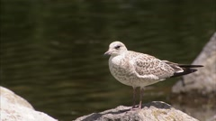 Lone seagull perched upon a rock. Stock Footage