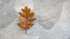Oak single autumn leaf on the stone - stock photo