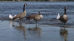 Small group of geese in the Ottawa River. - stock footage