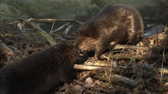 Pair of beavers sniffing each other. - stock footage