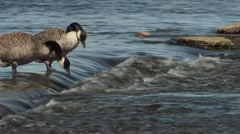 Pair of geese drinking water in the Ottawa River. - stock footage