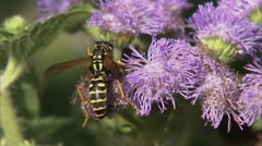 Ontario, Ottawa, Wasp on Canadian Thistle flower - stock footage