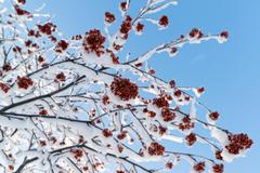 snow-bound rowan branches with bunches of red berry - stock photo