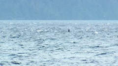 Orca pod swimming through Telegraph Cove. Stock Footage