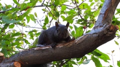 A squirrel sits on a tree branch and stares into the camera. - stock footage