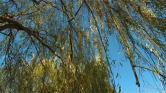 Willow tree in an Ottawa arboretum. (Pan) Stock Footage