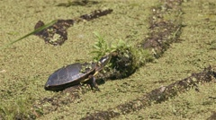 Painted turtle sitting on a log in swampland. Stock Footage