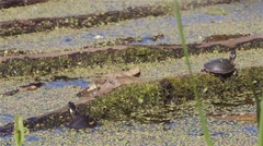 Painted turtles get startled by a mallard swimming by. Stock Footage