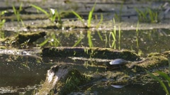Painted turtle looks around while standing on a log in a swamp. Stock Footage