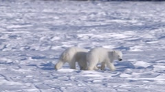 Pair of polar bear cubs walking toward their mother. - stock footage